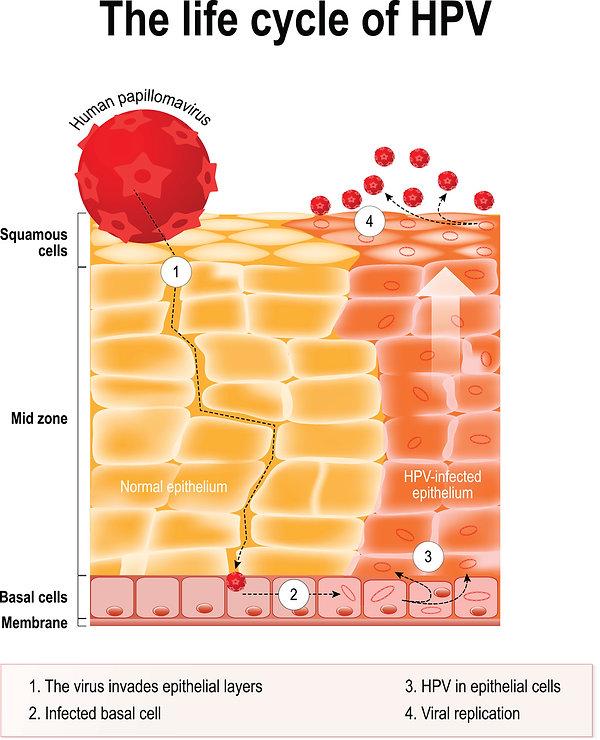cycle de vie du hpv dans l'épithélium humain. hpv - Infection par le papillomavirus humain