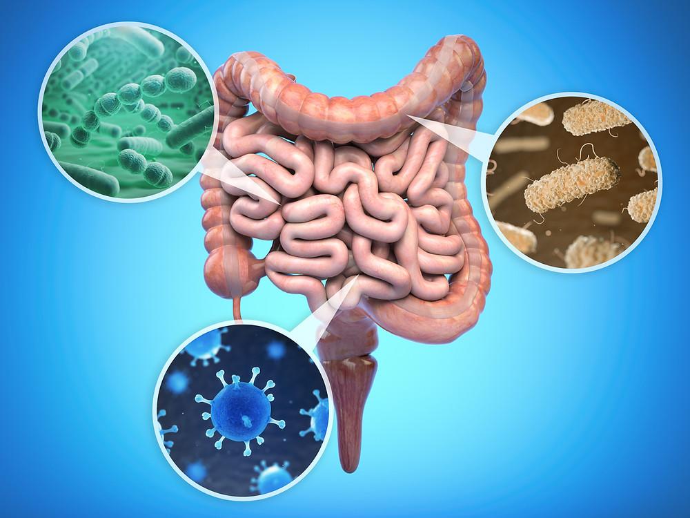 Intestin dans son ensemble avec grossissement de virus, de bactéries et de prébiotiques.