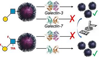 galectins.png