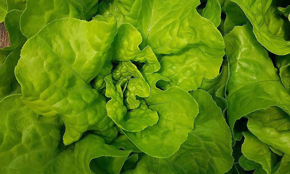 Salat Kopfsalat grün / rot
