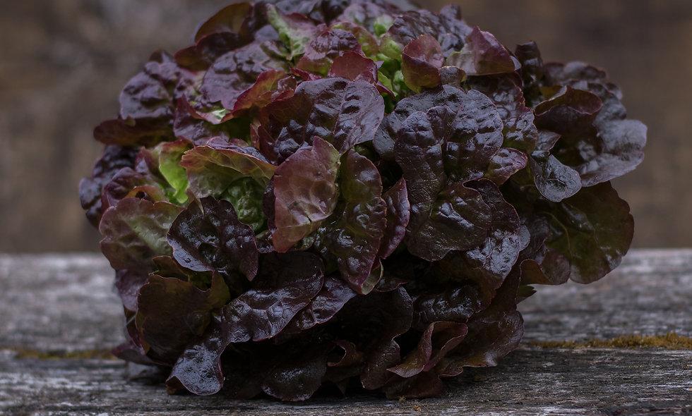 Salat Eichblatt rot