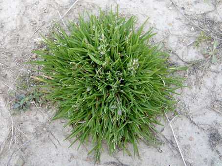 Help! Poa Annua is Taking Over My Yard (Even Though I Applied a Pre-Emergent)!