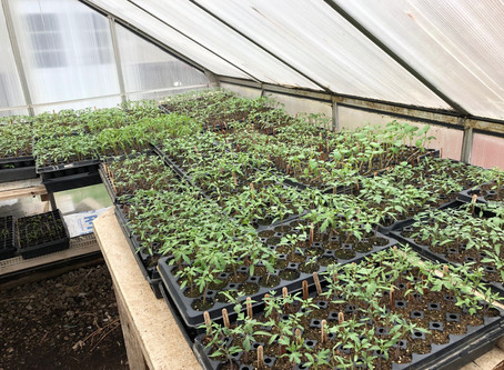 Tomatoes to Transplant