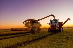 Evening Rice Harvest