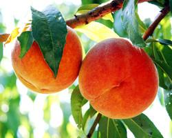 Peaches in Yuba Co.