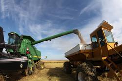 Rice Harvest - Sutter Co.