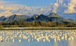 Waterfowl & the Sutter Buttes