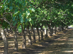 Walnut Orchard in Live Oak, CA