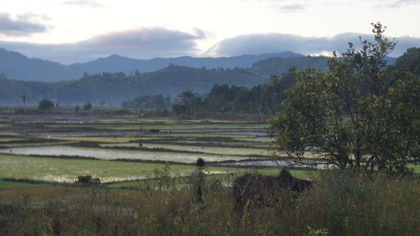 Ricefield of the valley of Andapa in the