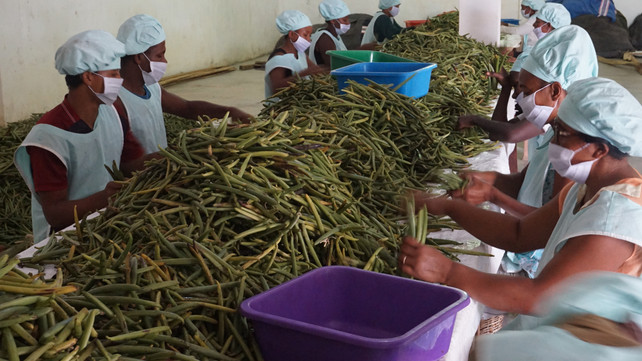 green vanilla sorting 3.JPG