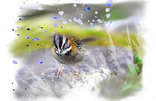 Sparrow.jpg