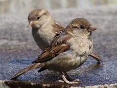 house-sparrowjpg