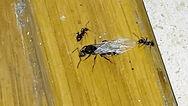 Common Garden Ant.jpg