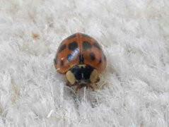 harliquin-ladybirdjpg