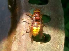 european-hornet-jpg