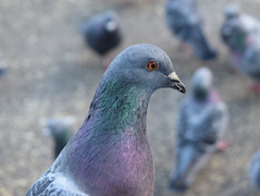 feral-pigeonjpg