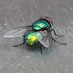 Green Bottle Fly.jpg