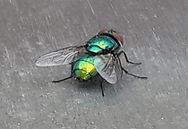European Paper Wasp.jpg
