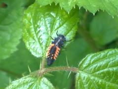 harliquin-larvaejpg