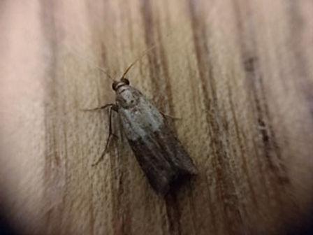 Bed bug.jpg
