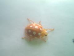 orange-ladybirdjpg