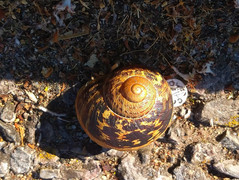 garden-snail1jpg