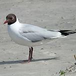 Black headed gull summer.jpg