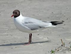 black-headed-gull-summerjpg