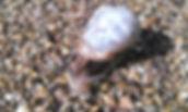 Common Garden Snail (Cornu aspersum)