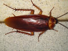 american-cockroachjpg
