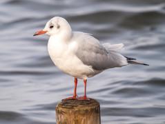 black-headed-gull-winter-plumagejpg