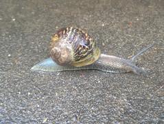 common-garden-snailjpg