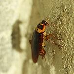 American Cockroach.jpg