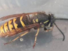 common-waspjpg