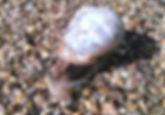 Garden Snail.jpg