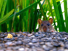 rat-headjpg