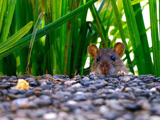 Rat head.jpg
