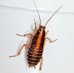 Oriental cockroach nymph.jpg