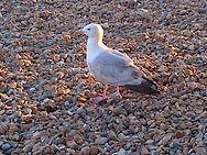 Feral Pigeon.jpg