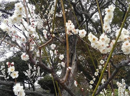 Bunga Plum di Taman Kyoto Gyoen National