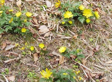 Bunga Dandelion dan Adonis