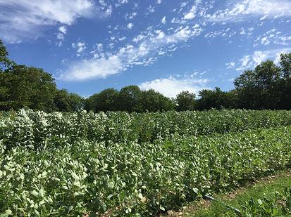 Blaencamel Organic Farm Broadbeans