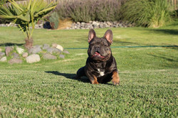 French Bulldog Stud Service