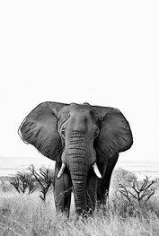 posters de animales, poster de elefante