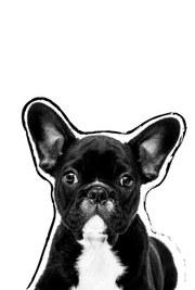posters de animales, poster de perro French Bulldog