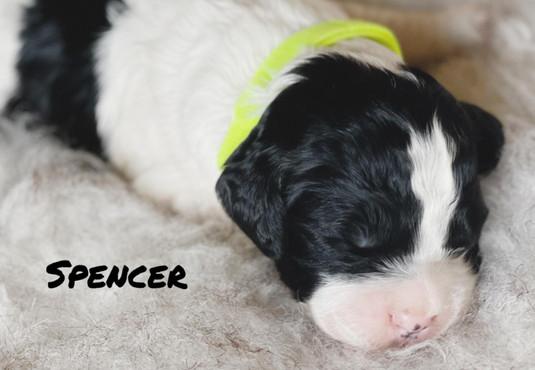 Spencer - Winnie's litter - April 2021