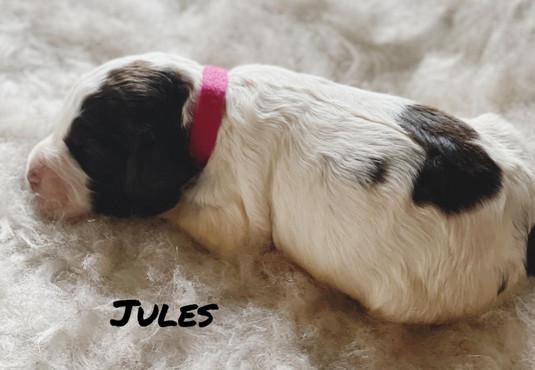 Jules - Winnie's litter - April 2021