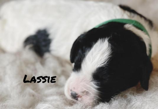Lassie - Winnie's litter - April 2021