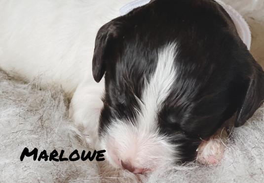 Marlowe - Winnie's litter - April 2021