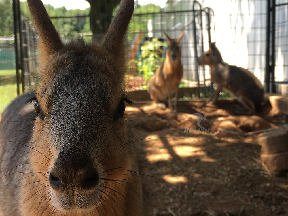 A patagonian cavy looking at the camera